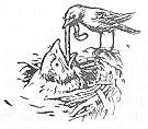 Ein junger Kuckuck wird mühselig durch die Vogeleltern im Nest gefüttert. Zeichnung von H. Vogel-Plauen.
